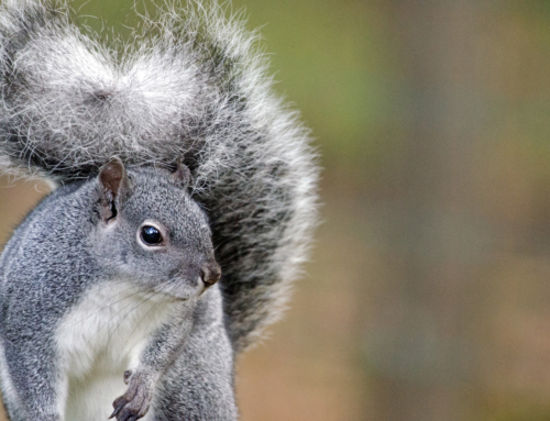 The Gray Squirrels